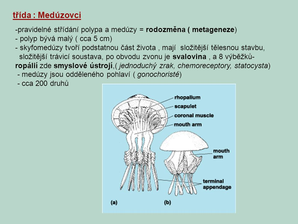 třída : Medúzovci -pravidelné střídání polypa a medúzy = rodozměna ( metageneze) - polyp bývá malý ( cca 5 cm) - skyfomedúzy tvoří podstatnou část živ