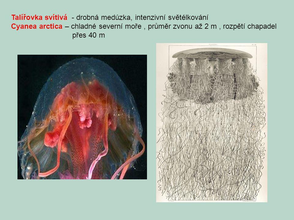 Talířovka svítivá - drobná medúzka, intenzivní světélkování Cyanea arctica – chladné severní moře, průměr zvonu až 2 m, rozpětí chapadel přes 40 m