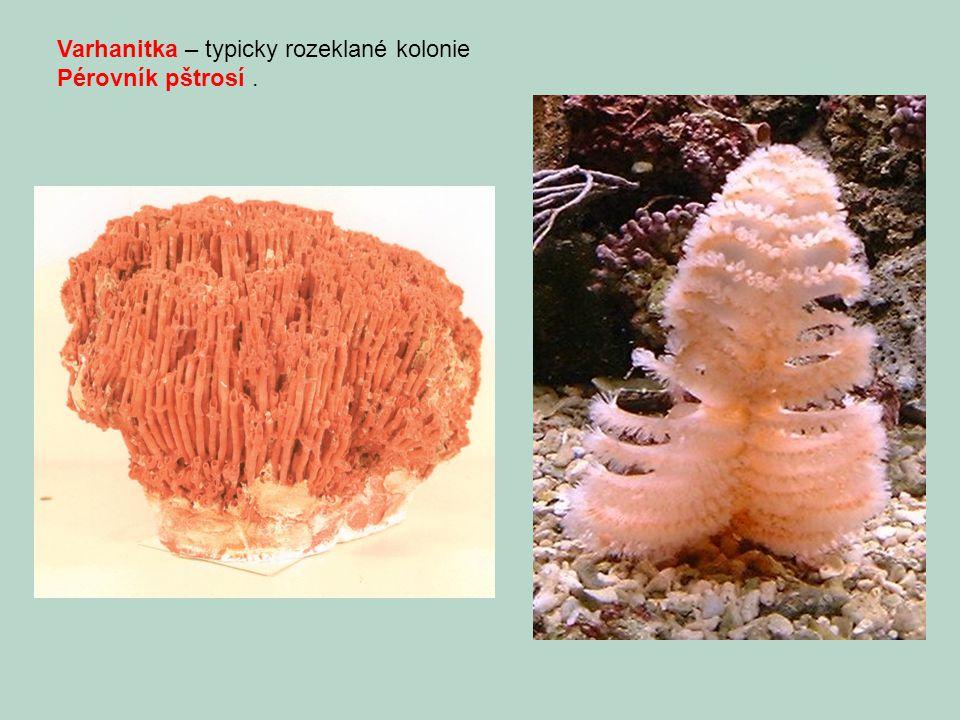 Varhanitka – typicky rozeklané kolonie Pérovník pštrosí.