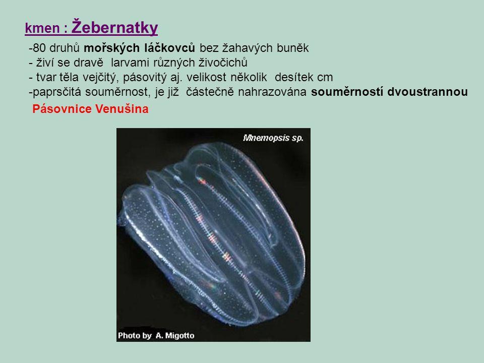 kmen : Žebernatky -80 druhů mořských láčkovců bez žahavých buněk - živí se dravě larvami různých živočichů - tvar těla vejčitý, pásovitý aj. velikost
