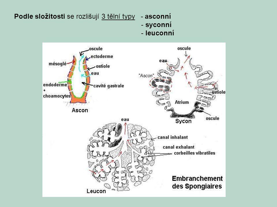 Podle složitosti se rozlišují 3 tělní typy - asconní - syconní - leuconní