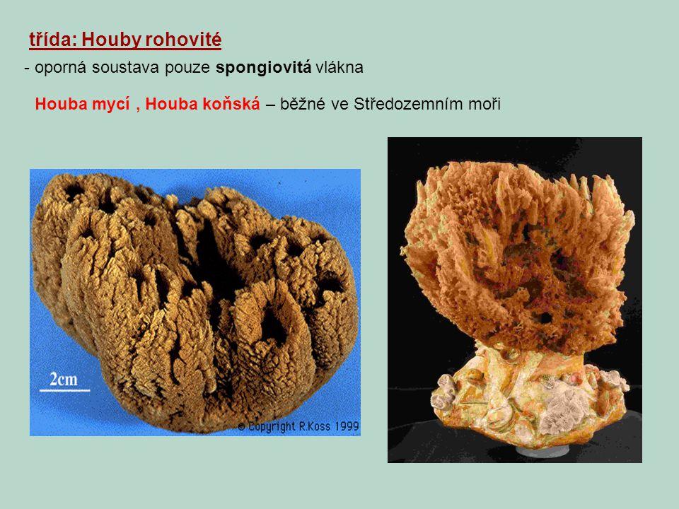 třída: Houby rohovité - oporná soustava pouze spongiovitá vlákna Houba mycí, Houba koňská – běžné ve Středozemním moři