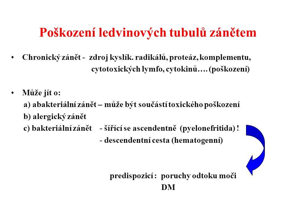 Poškození ledvinových tubulů zánětem Chronický zánět - zdroj kyslík. radikálů, proteáz, komplementu, cytotoxických lymfo, cytokinů…. (poškození) Může