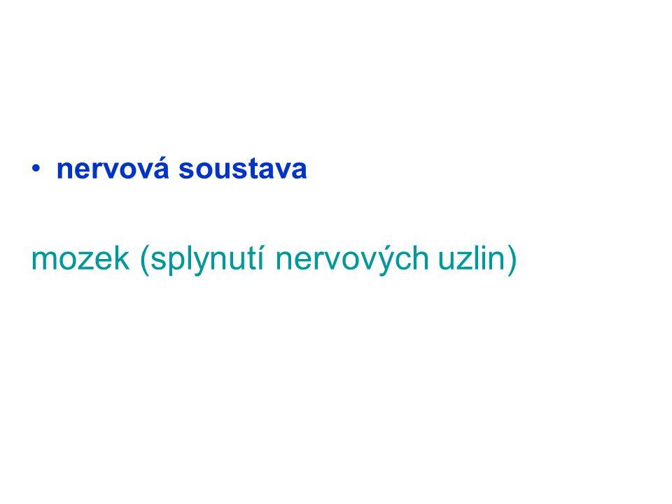 nervová soustava mozek (splynutí nervových uzlin)