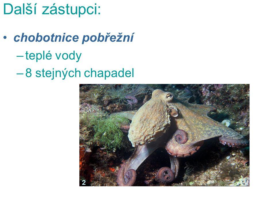 Další zástupci: chobotnice pobřežní –teplé vody –8 stejných chapadel 2