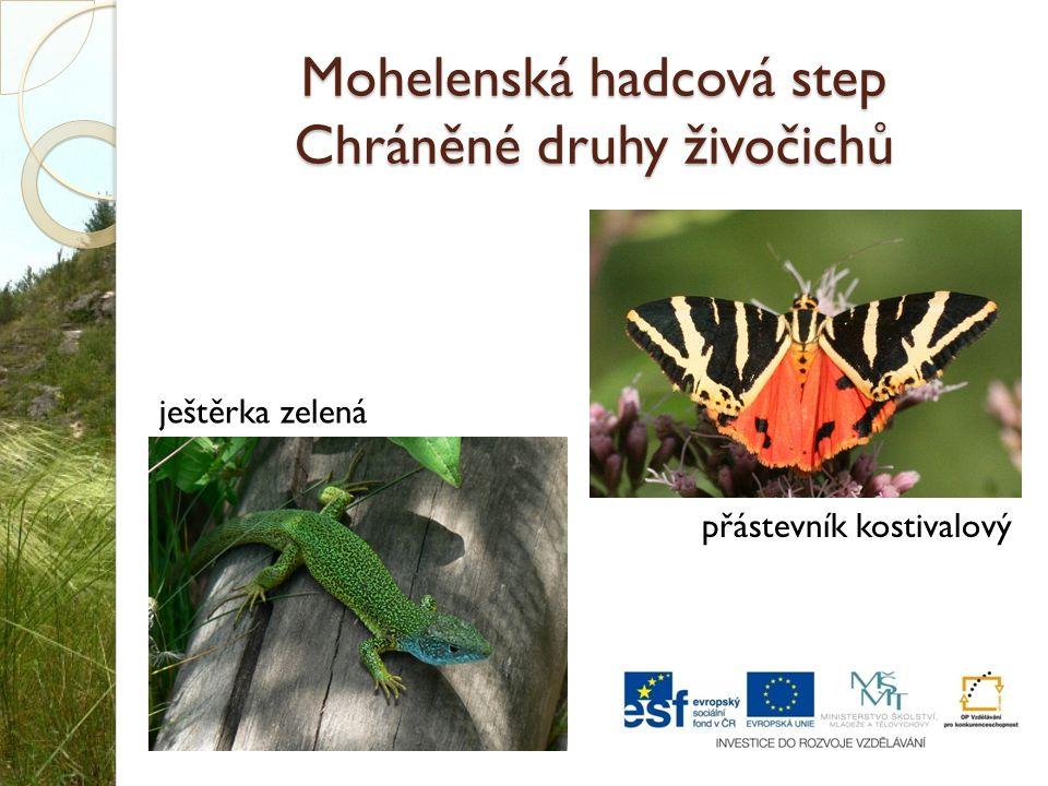 Mohelenská hadcová step Chráněné druhy živočichů ještěrka zelená přástevník kostivalový
