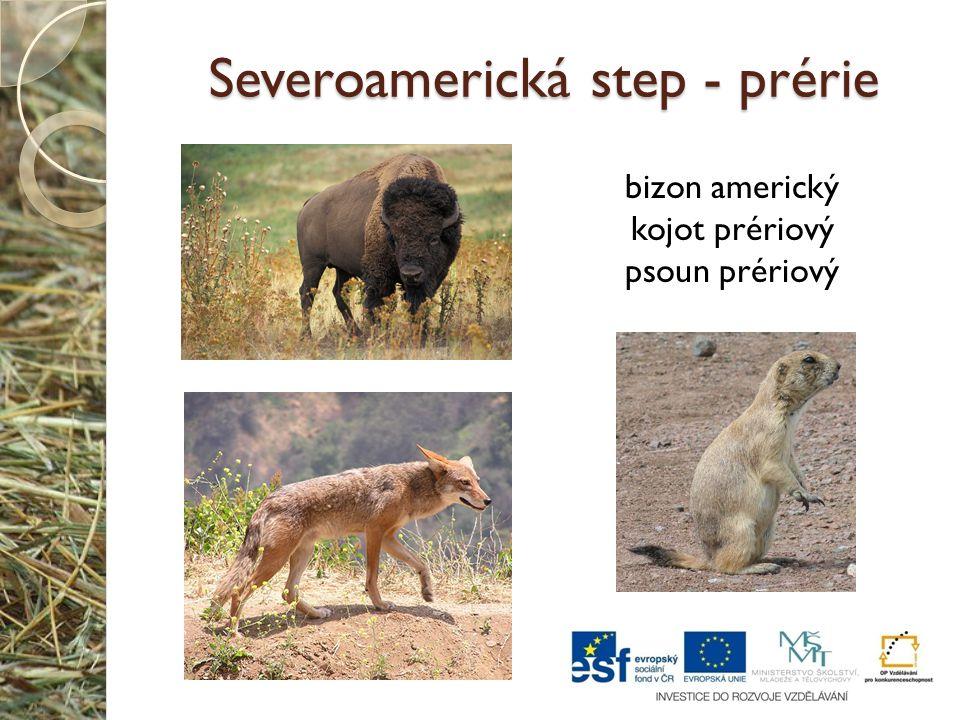 Severoamerická step - prérie bizon americký kojot prériový psoun prériový