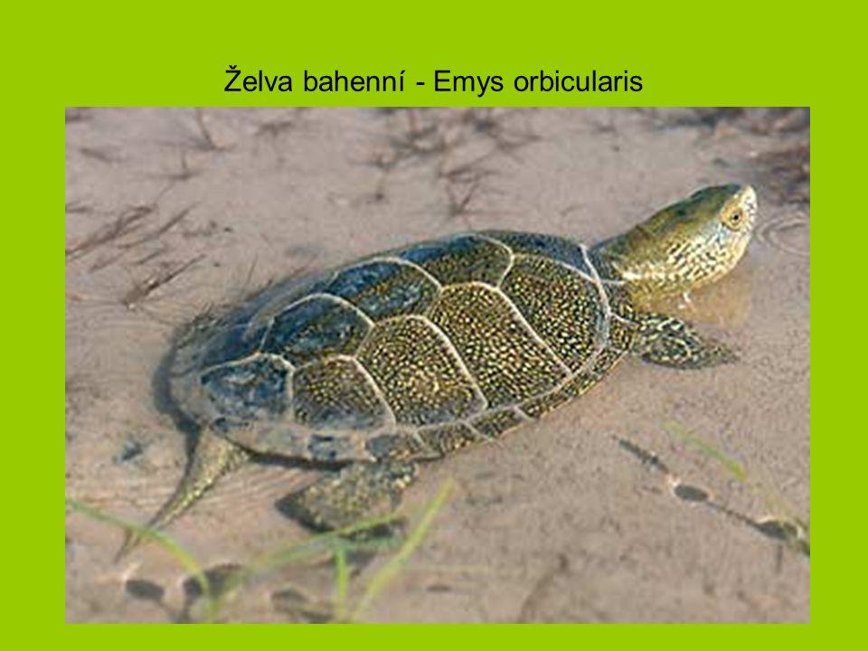 Želva bahenní - Emys orbicularis