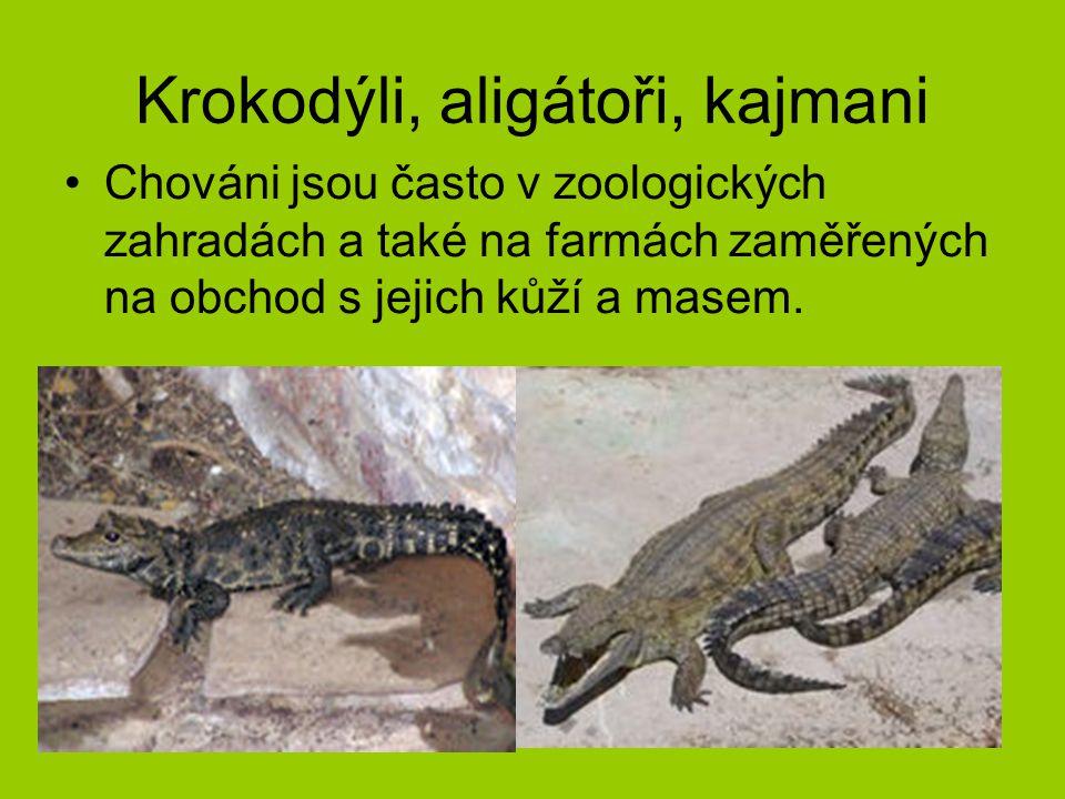 Krokodýli, aligátoři, kajmani Chováni jsou často v zoologických zahradách a také na farmách zaměřených na obchod s jejich kůží a masem.