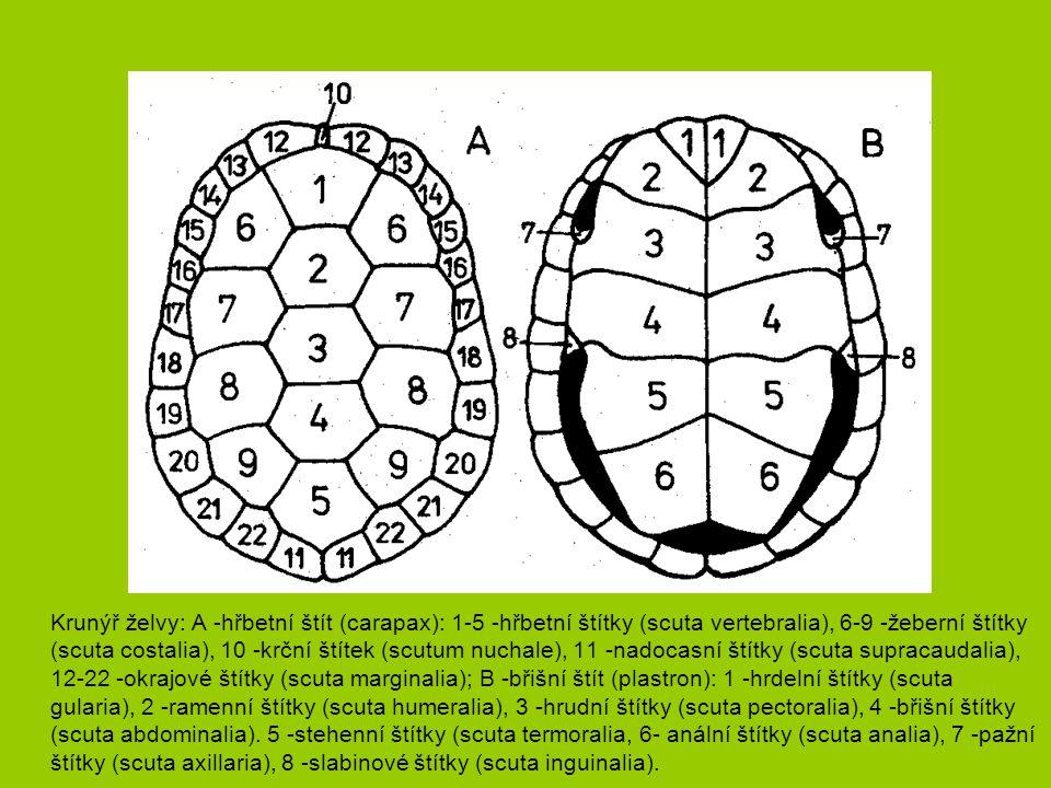 Vodní ještěři Dracéna guayanská - ostrůvkovitě Amazonská pánev - Peru až Ekvádor, porosty na březích řek, specializuje se na lov vodních plžů s ulitou, samice klade 3-10 velkých podlouhlých vajíček do hnízd stromových všekazů.