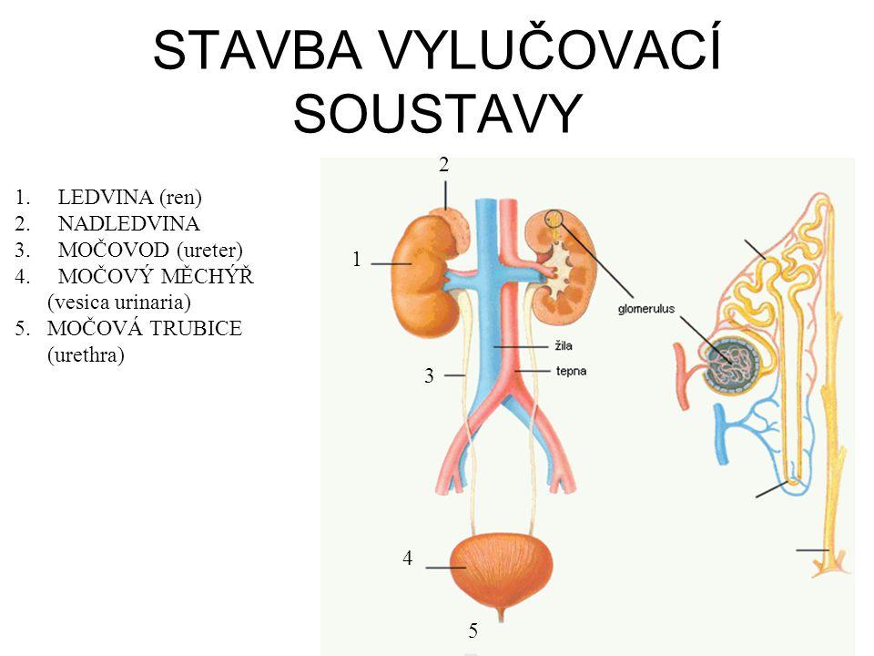 STAVBA VYLUČOVACÍ SOUSTAVY 1 2 3 4 5 1.LEDVINA (ren) 2.NADLEDVINA 3.MOČOVOD (ureter) 4.MOČOVÝ MĚCHÝŘ (vesica urinaria) 5. MOČOVÁ TRUBICE (urethra)