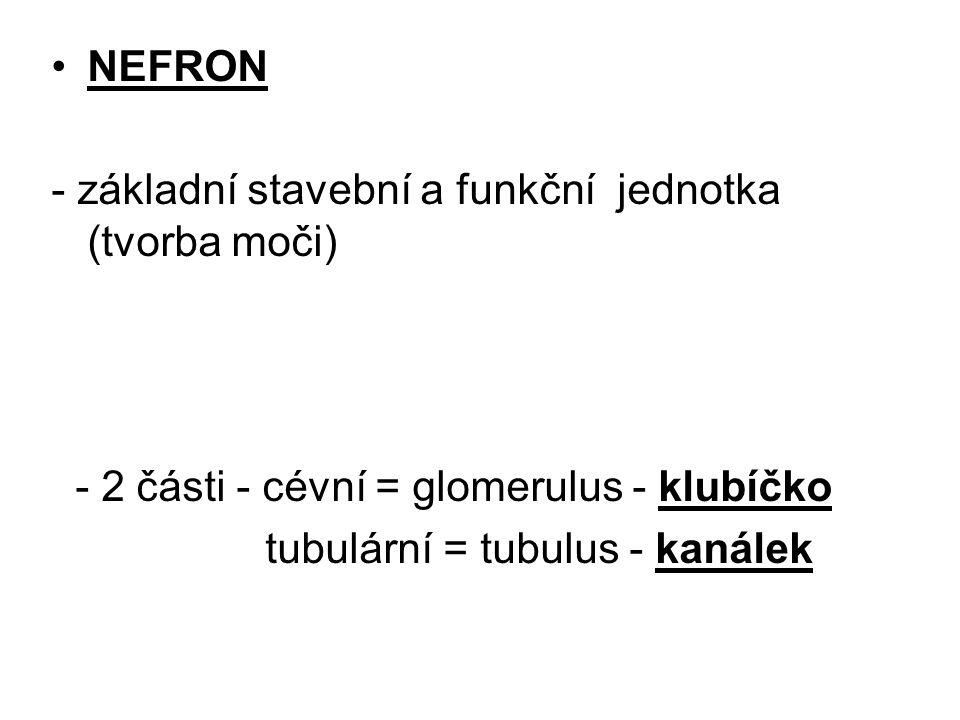 NEFRON - základní stavební a funkční jednotka (tvorba moči) - 2 části - cévní = glomerulus - klubíčko tubulární = tubulus - kanálek