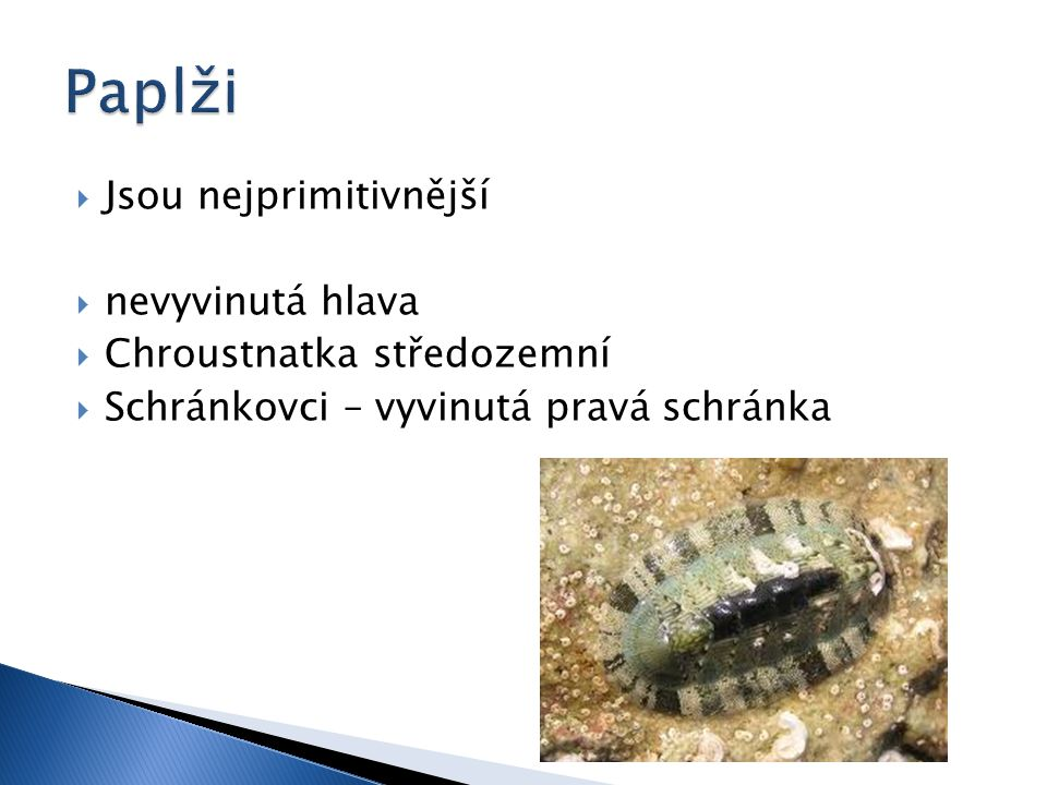  Jsou nejprimitivnější  nevyvinutá hlava  Chroustnatka středozemní  Schránkovci – vyvinutá pravá schránka