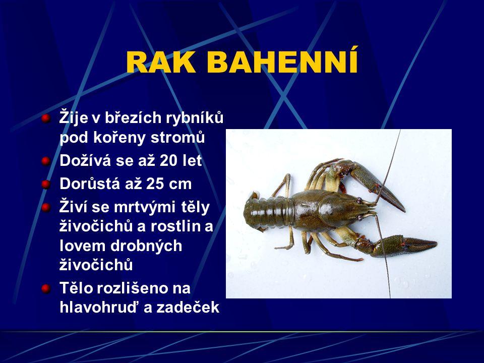 RAK BAHENNÍ Žije v březích rybníků pod kořeny stromů Dožívá se až 20 let Dorůstá až 25 cm Živí se mrtvými těly živočichů a rostlin a lovem drobných živočichů Tělo rozlišeno na hlavohruď a zadeček