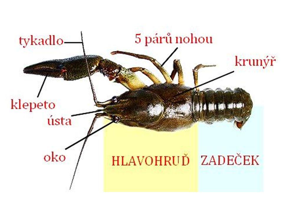 Korýši mají článkované tělo a končetiny  patří mezi ČLENOVCE tělo kryje krunýř a)rak bahenní, rak říční :  mohutná klepeta  dýchá žábrami  aktivní v noci  všežravec, požírá i mršiny  udržuje čistou vodu  oplozená vajíčka nosí samice na zadečku, přímý vývin – vajíčka  malí raci  v ČR chránění b) buchanky a perloočky - součást planktonu průhledné, 2 – 6 mm, pohybují skákavě se pomocí tykadel živí se bakteriemi a řasami  čistí vodu