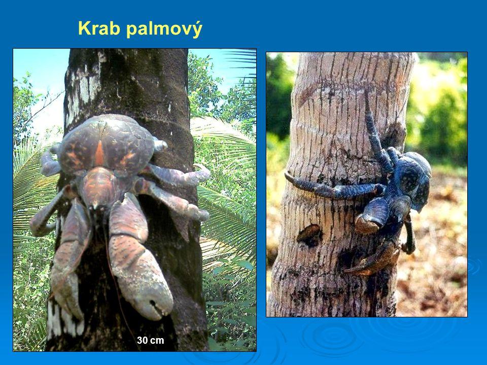 Krab palmový 30 cm