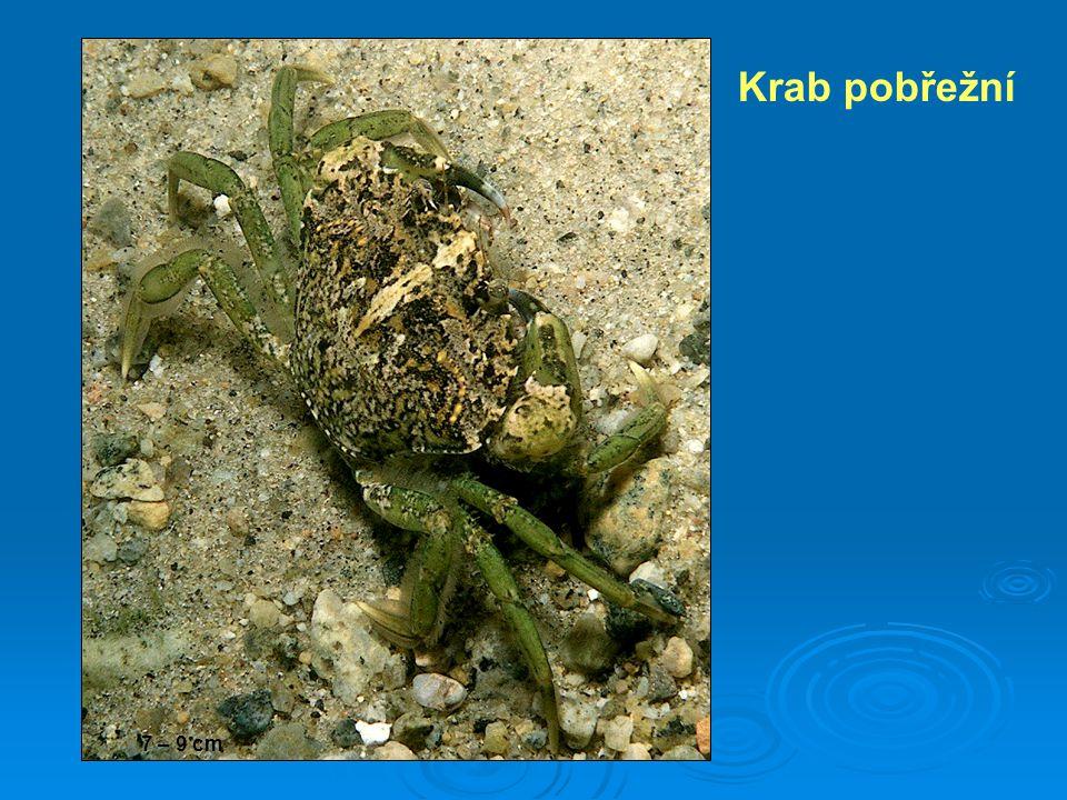 Krab pobřežní 7 – 9 cm