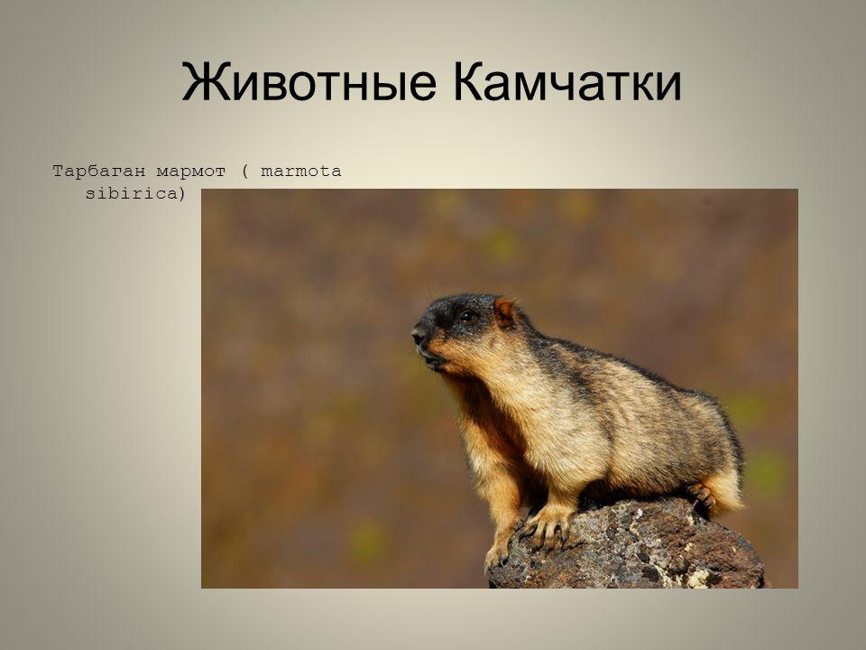 Животные Камчатки Тарбаган мармот ( marmota sibirica)