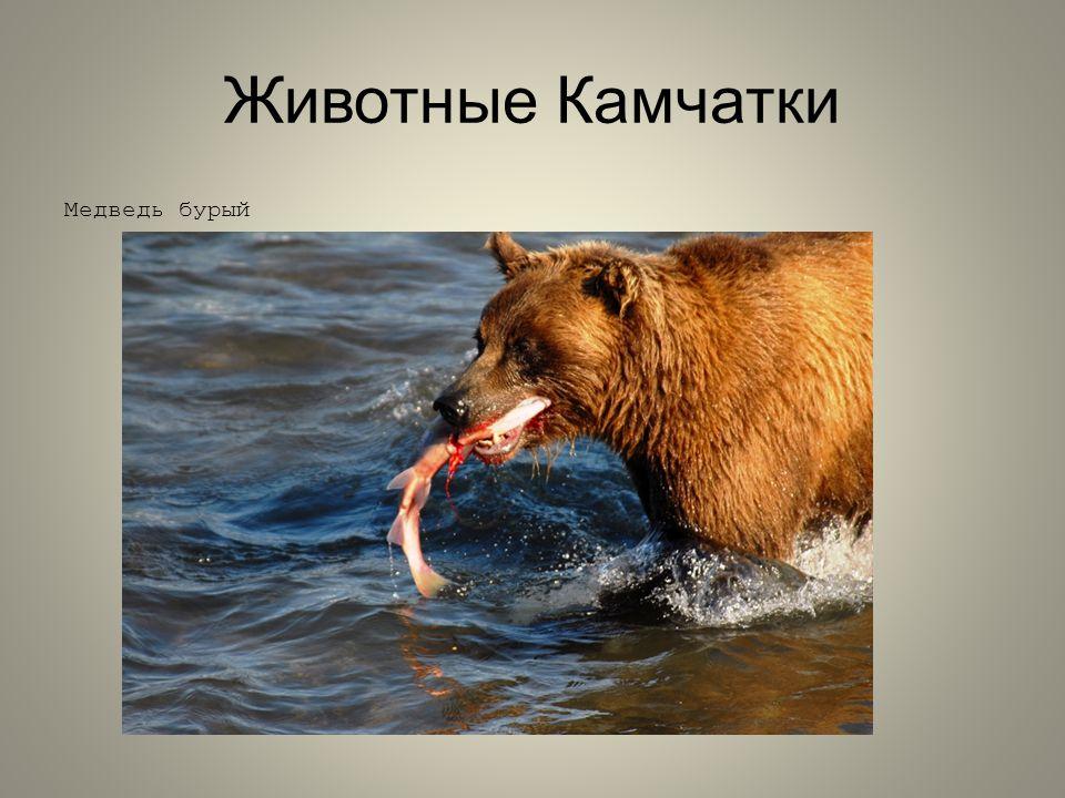 Животные Камчатки Медведь бурый