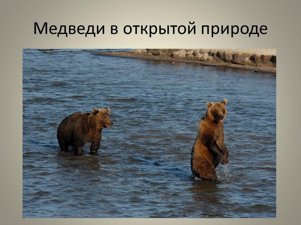 Медведи в открытой природе