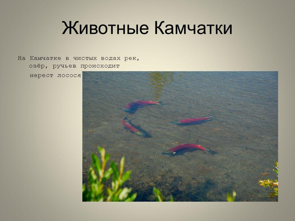 Животные Камчатки На Камчатке в чистых водах рек, озёр, ручьев происходит нерест лосося