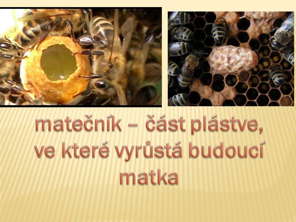 Mateří kašička je produkována žlázami mladých včelích dělnic.