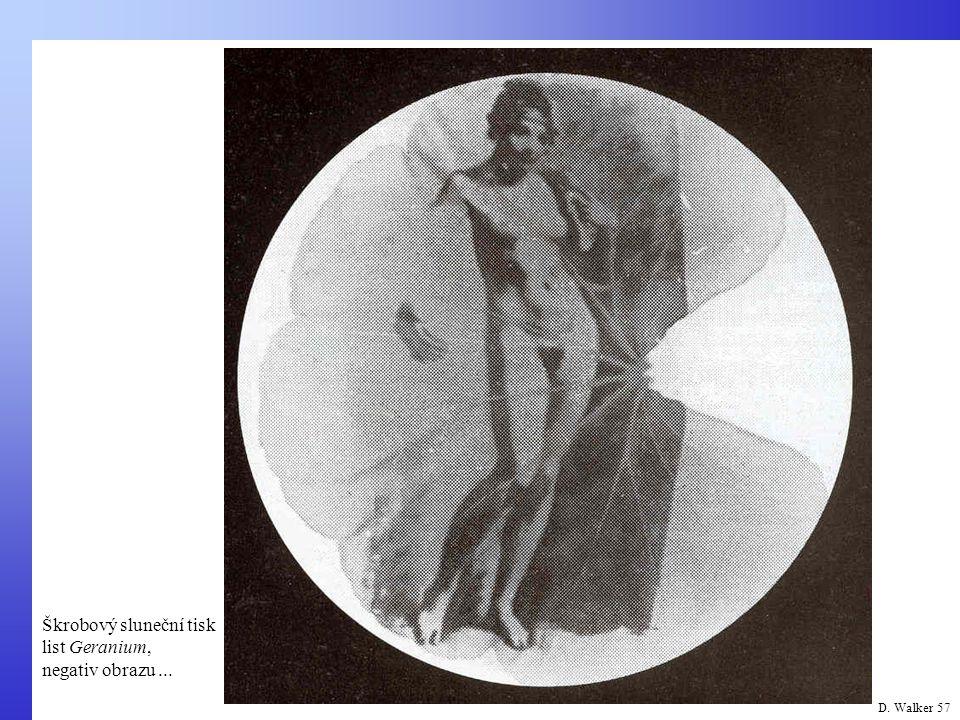 D. Walker 57 Škrobový sluneční tisk list Geranium, negativ obrazu...