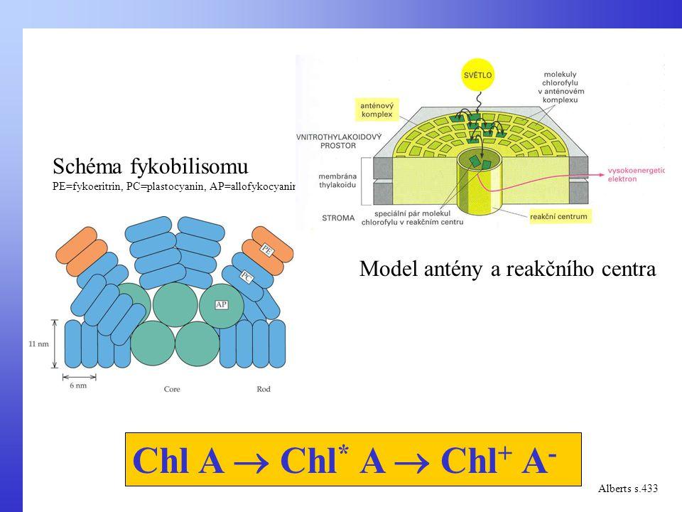 Chl A  Chl * A  Chl + A - Alberts s.433 Schéma fykobilisomu PE=fykoeritrin, PC=plastocyanin, AP=allofykocyanin Model antény a reakčního centra