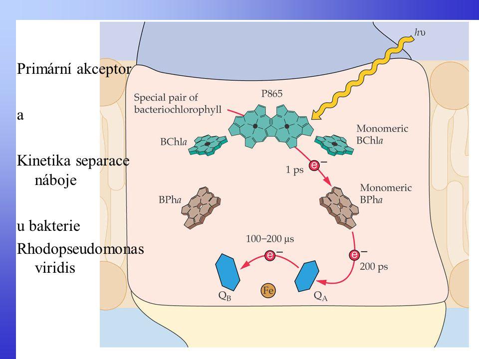 Primární akceptor a Kinetika separace náboje u bakterie Rhodopseudomonas viridis