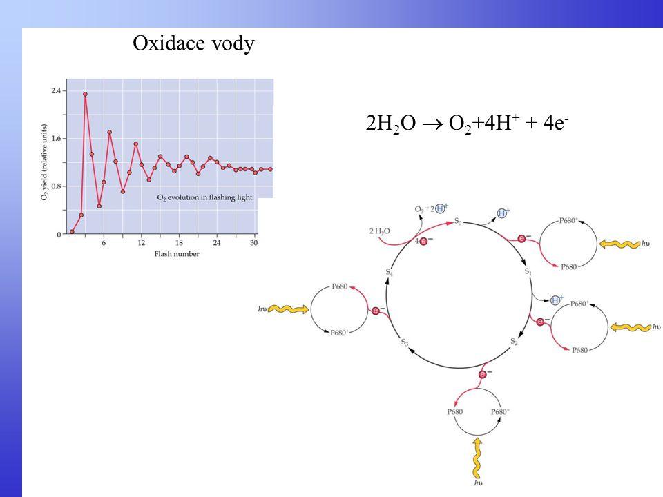 Oxidace vody 2H 2 O  O 2 +4H + + 4e -