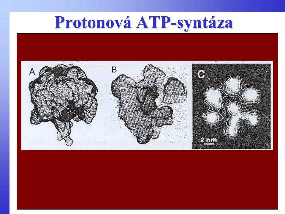 Protonová ATP-syntáza