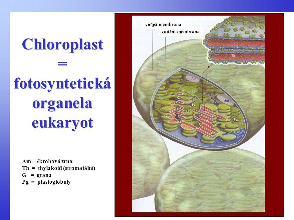 Chloroplast = fotosyntetická organela eukaryot vnější membrána vnitřní membrána Am = škrobová zrna Th = thylakoid (stromatální) G = grana Pg = plastoglobuly