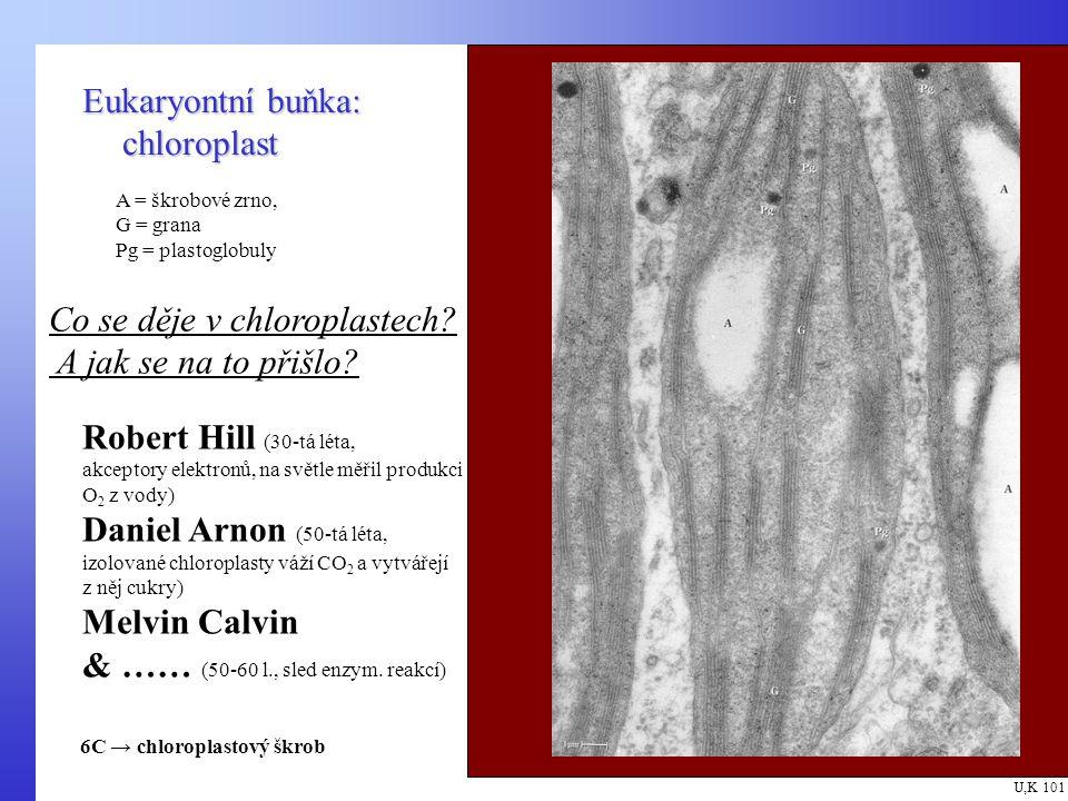 Eukaryontní buňka: chloroplast U,K 101 A = škrobové zrno, G = grana Pg = plastoglobuly Co se děje v chloroplastech.
