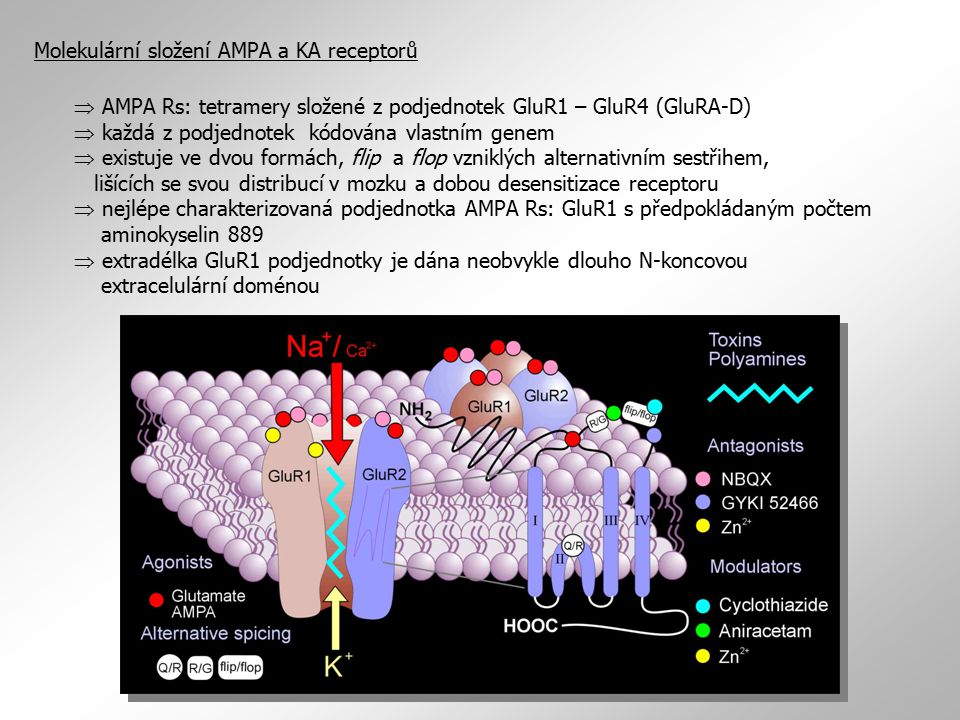  AMPA Rs: tetramery složené z podjednotek GluR1 – GluR4 (GluRA-D)  každá z podjednotek kódována vlastním genem  existuje ve dvou formách, flip a fl