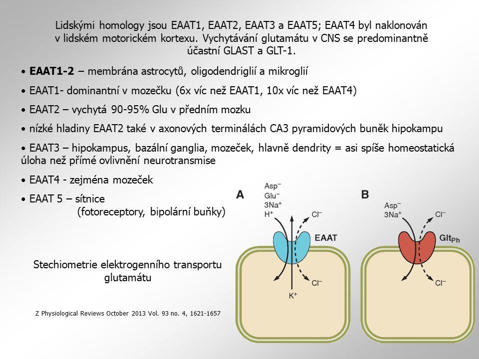 EAAT1-2 – membrána astrocytů, oligodendriglií a mikroglií EAAT1- dominantní v mozečku (6x víc než EAAT1, 10x víc než EAAT4) EAAT2 – vychytá 90-95% Glu