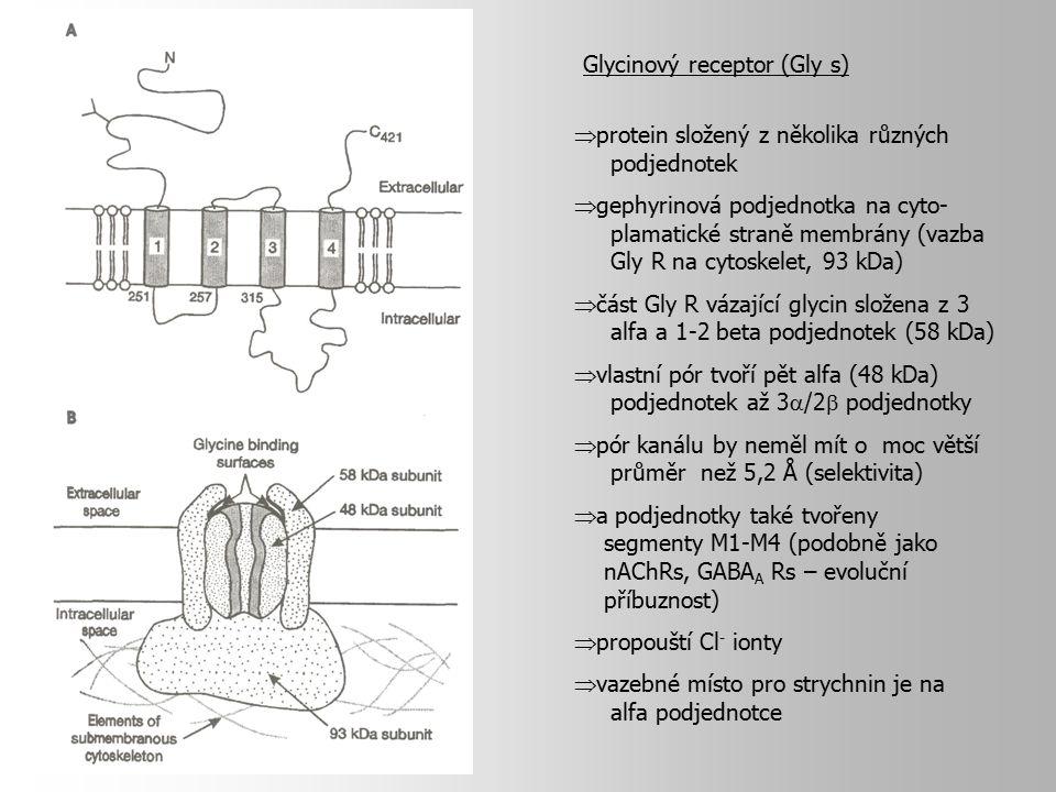  protein složený z několika různých podjednotek  gephyrinová podjednotka na cyto- plamatické straně membrány (vazba Gly R na cytoskelet, 93 kDa)  č