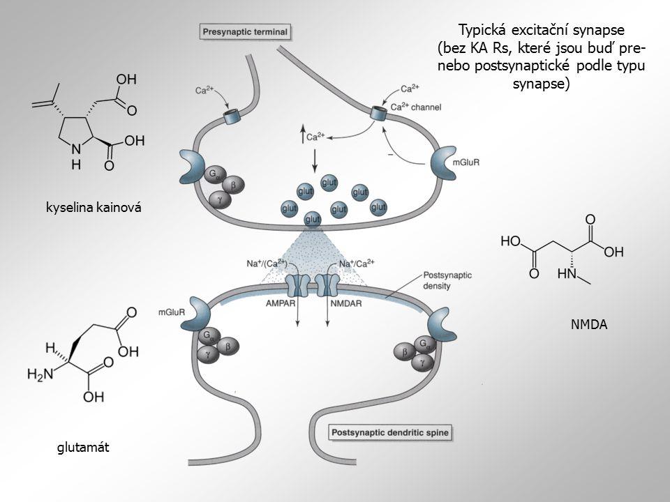 AMPA a KA receptory: fyziologie a farmakologie  AMPA Rs vedou primárně dovnitř tekoucí sodíkový proud (který je vyvažován ven tekoucím proudem draslíkovým)  některé AMPA Rs neuronů a astrocytů striata, hippokampu či mozečku propouští také Ca 2+, což je extrémně důležité pro buňky, které nejsou vybaveny NMDA receptory  selektivní blok AMPA Rs např.