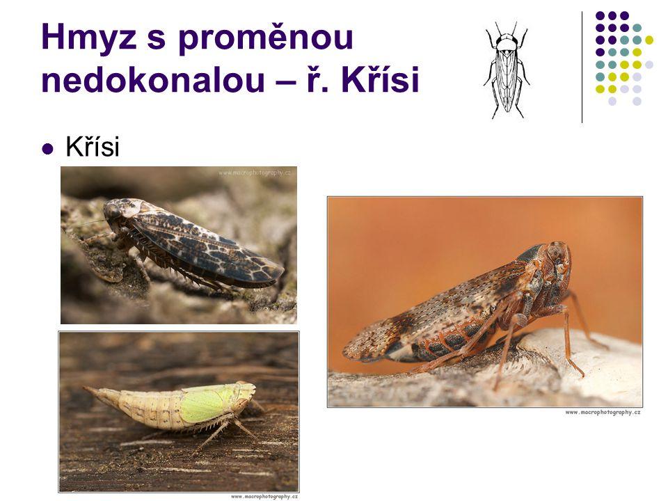Hmyz s proměnou nedokonalou – ř. Křísi Křísi