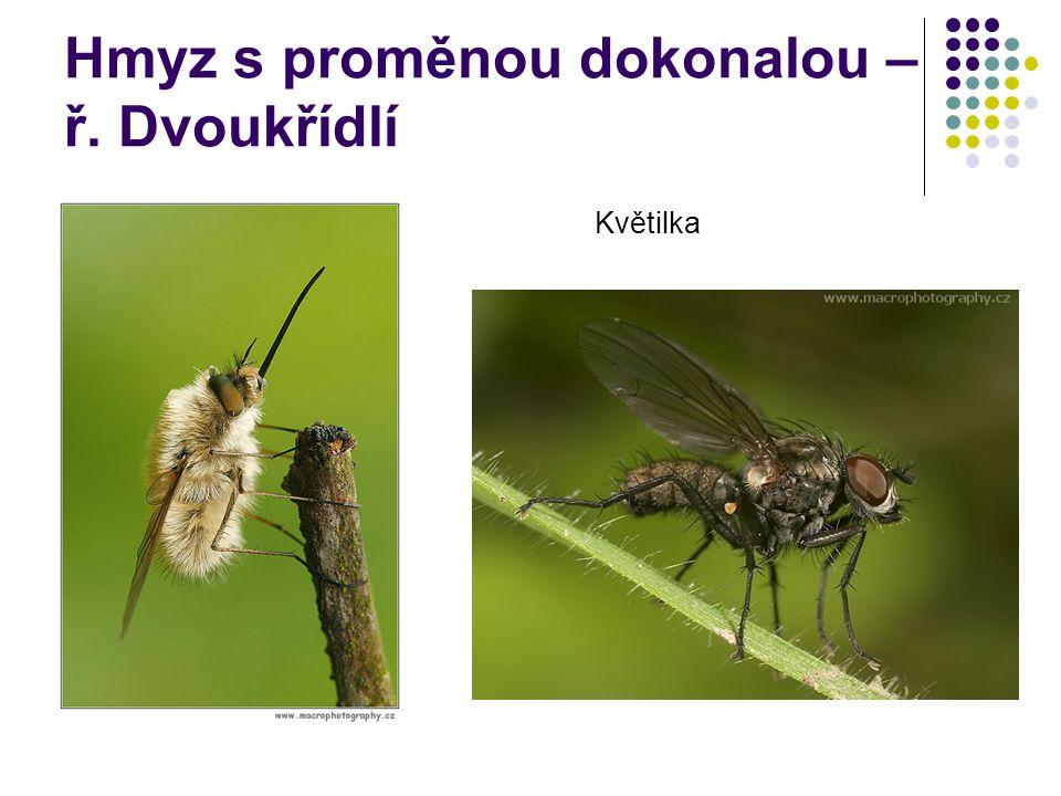 Hmyz s proměnou dokonalou – ř. Dvoukřídlí Květilka