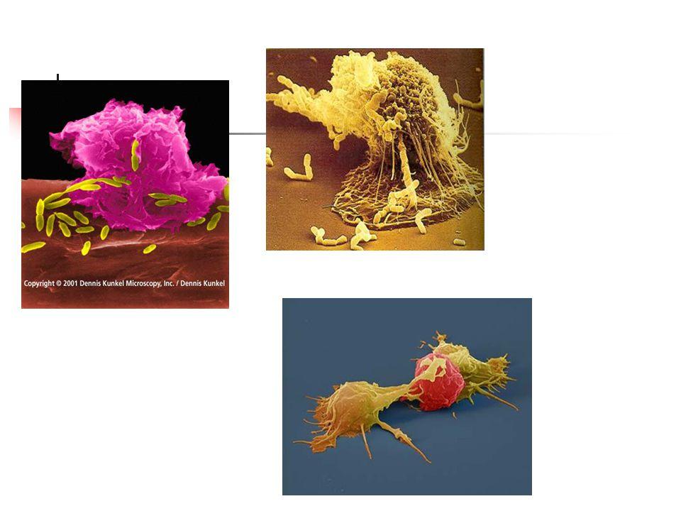 Vrozené poruchy fagocytózy Imunitní nedostatečnost Primární poruchy – geneticky podmíněné – nízká incidence 1:100000-1:1000000 Sekundární poruchy Poruchy v počtu granulocytů (retikulární dysgeneze) Poruchy funkce granulocytů – LAD syndrom (Leukocyte Adhesion Deficency, mutace genu pro podjednotku beta CD18)