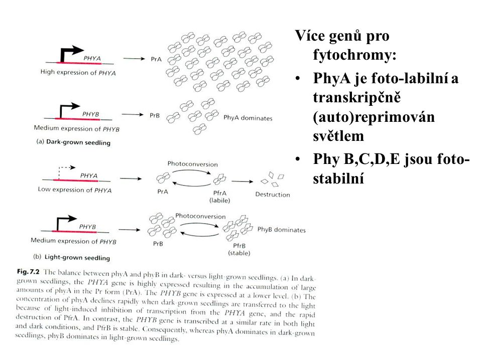 Více genů pro fytochromy: PhyA je foto-labilní a transkripčně (auto)reprimován světlem Phy B,C,D,E jsou foto- stabilní