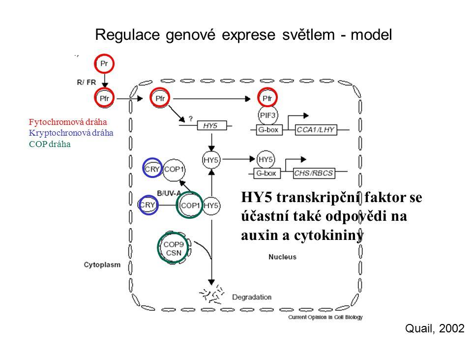 Regulace genové exprese světlem - model Quail, 2002 Fytochromová dráha Kryptochronová dráha COP dráha HY5 transkripční faktor se účastní také odpovědi na auxin a cytokininy