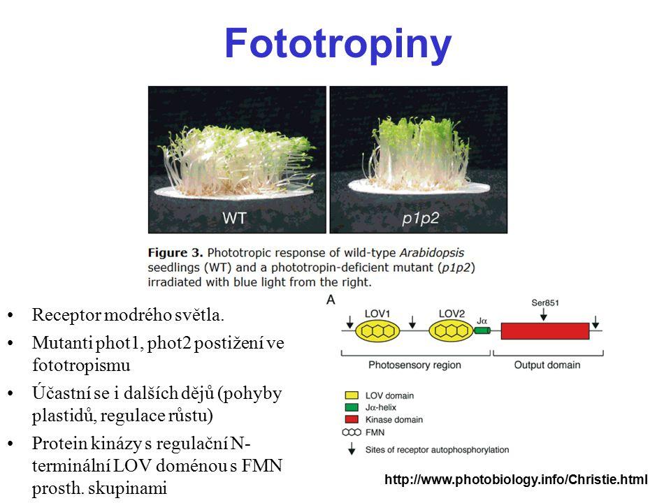 Fototropiny Receptor modrého světla. Mutanti phot1, phot2 postižení ve fototropismu Účastní se i dalších dějů (pohyby plastidů, regulace růstu) Protei