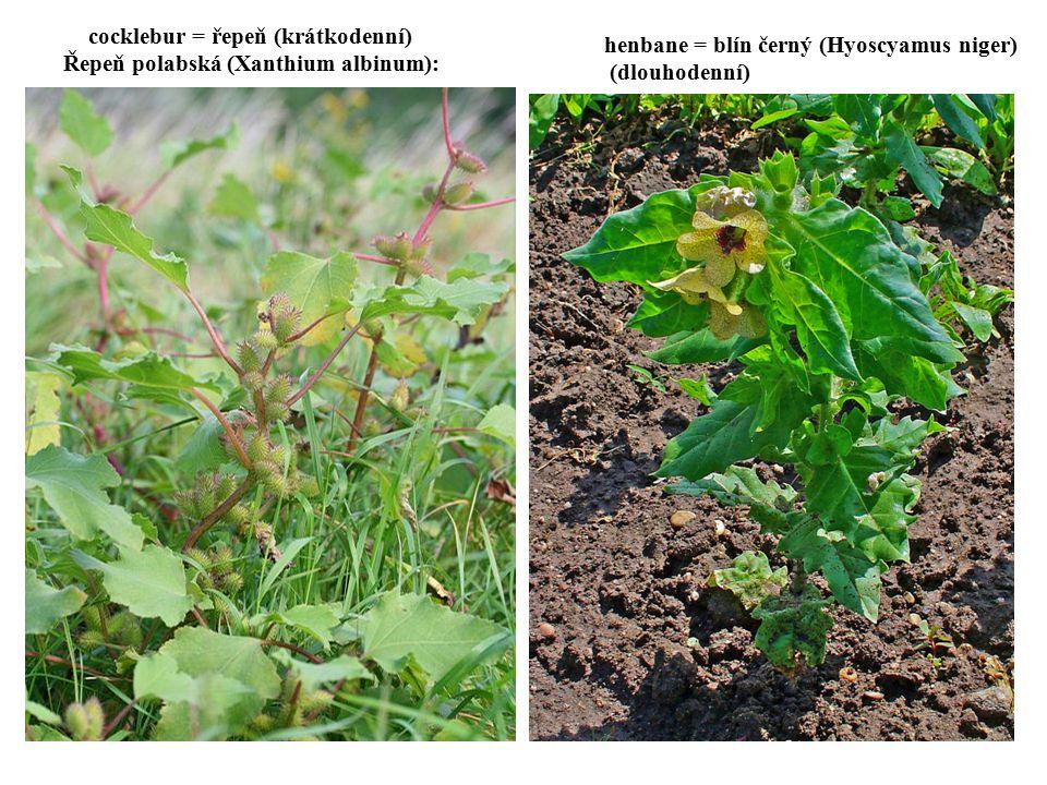 cocklebur = řepeň (krátkodenní) Řepeň polabská (Xanthium albinum): henbane = blín černý (Hyoscyamus niger) (dlouhodenní)