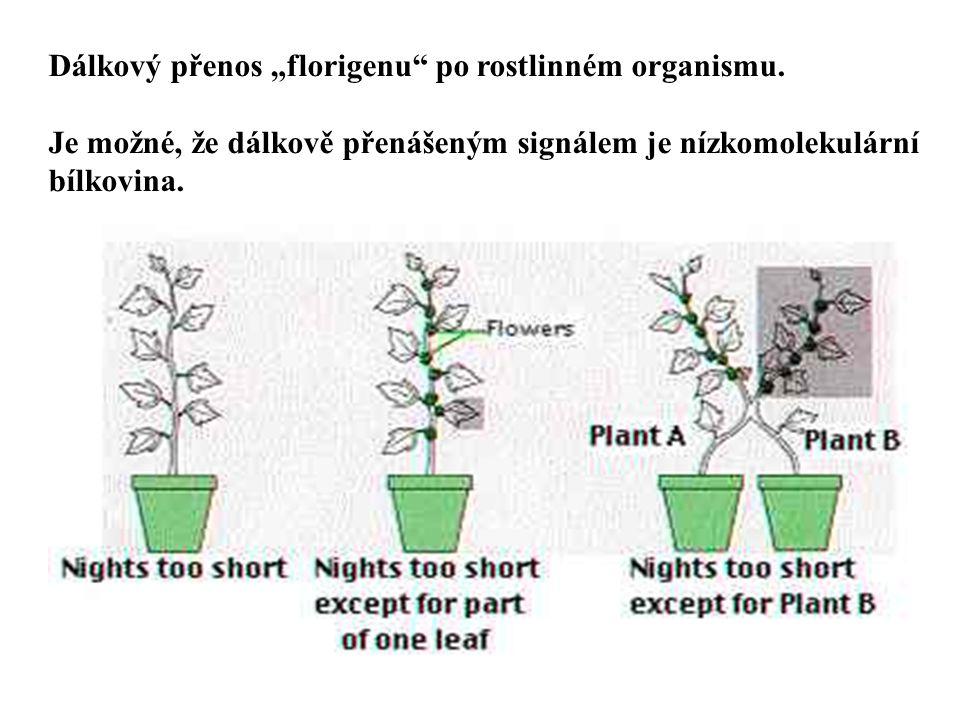 """Dálkový přenos """"florigenu"""" po rostlinném organismu. Je možné, že dálkově přenášeným signálem je nízkomolekulární bílkovina."""