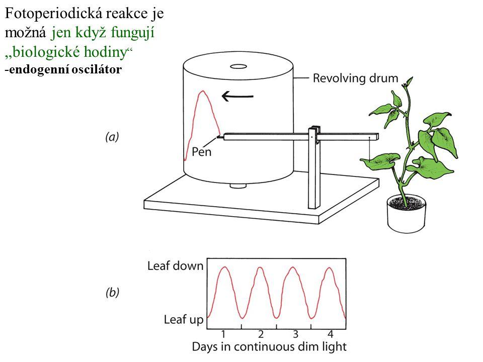 """Fotoperiodická reakce je možná jen když fungují """"biologické hodiny """" -endogenní oscilátor"""