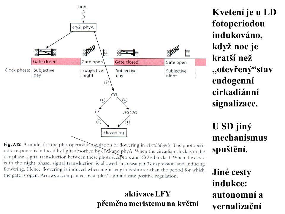 """Kvetení je u LD fotoperiodou indukováno, když noc je kratší než """"otevřený""""stav endogenní cirkadiánní signalizace. U SD jiný mechanismus spuštění. Jiné"""