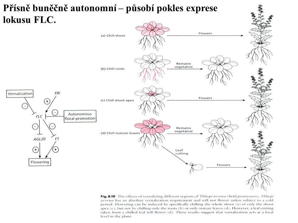 Přísně buněčně autonomní – působí pokles exprese lokusu FLC.