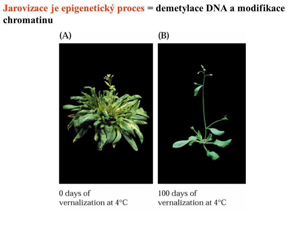 Jarovizace je epigenetický proces = demetylace DNA a modifikace chromatinu