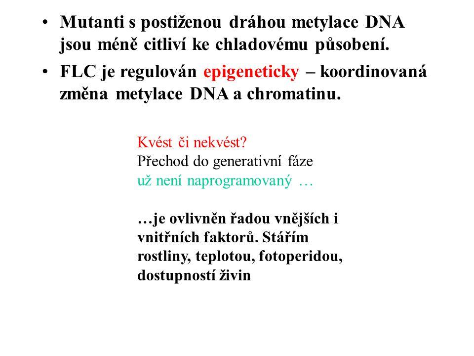 Mutanti s postiženou dráhou metylace DNA jsou méně citliví ke chladovému působení. FLC je regulován epigeneticky – koordinovaná změna metylace DNA a c